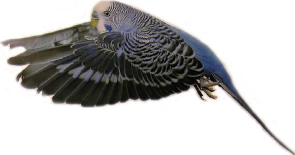 Ασθένεια των δρομέων (παπαγάλοι)