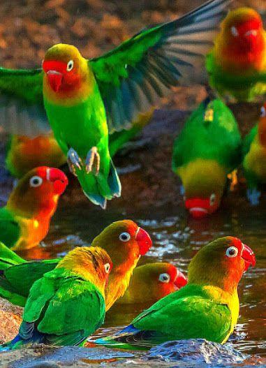 Λεβίθες (παπαγάλοι)