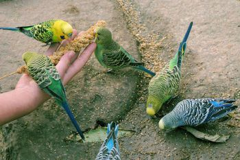 Κόκκοι (παπαγάλοι)