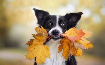 Μόρβα, ή ασθένεια του Καρέ - Σκυλιά