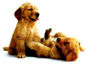 Λοιμώδης Ηπατίτις - Σκυλιά