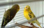 Δυστοκία (παπαγάλοι)
