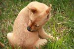 Παράσιτα του πεπτικού - Σκυλιά