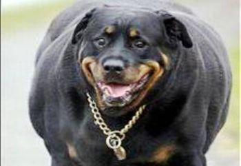 Η παχυσαρκία του σκύλου και της γάτας