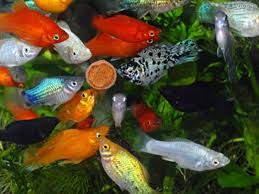 Φυτική τροφή - Ψάρια