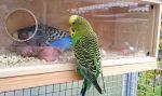 Τροφή για τα νεογέννητα παπαγαλάκια