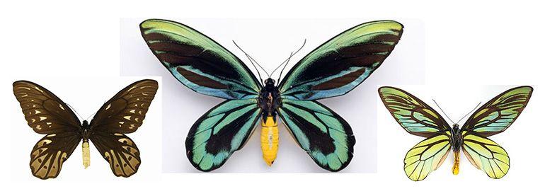 Πεταλούδα - Η βασίλισσα Αλεξάνδρα