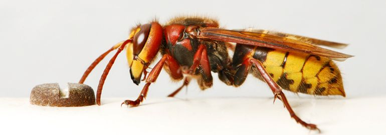 Σφήκα - υμενόπτερο έντομο