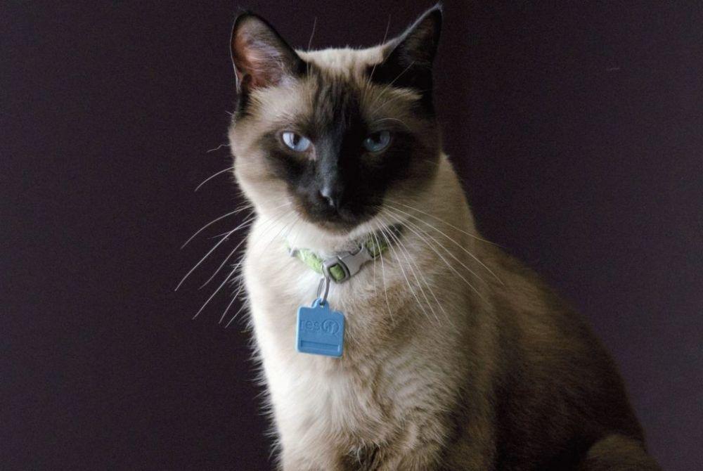 Σιαμέζα με πιτσιλωτά άκρα - Γάτες