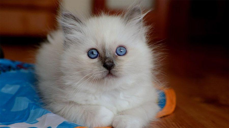 Μπλε - κρεμ γάτα