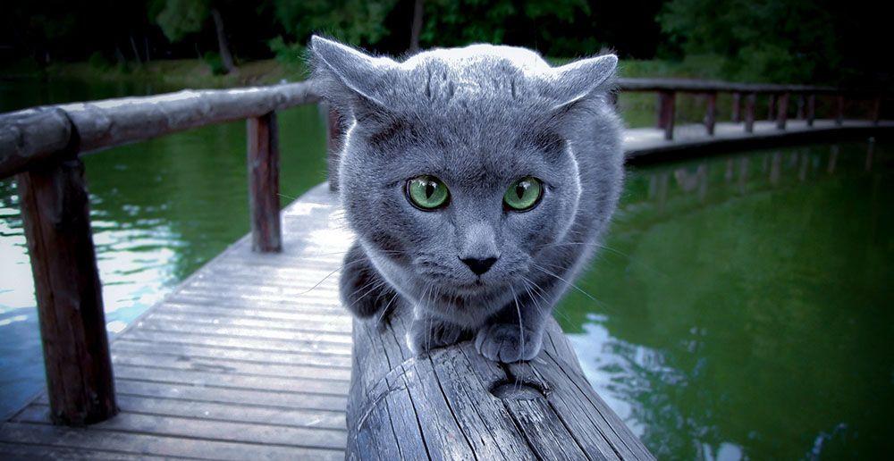 Η ρώσικη μπλε γάτα