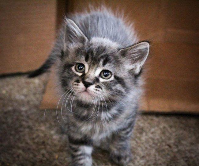 Γάτα με ραβδωτό ασημένιο χρώμα