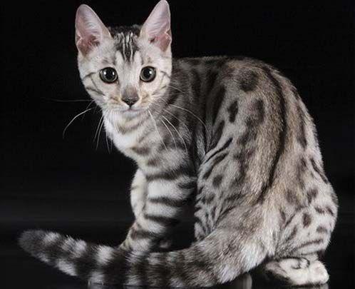 Πιτσιλωτή και άσπρη γάτα