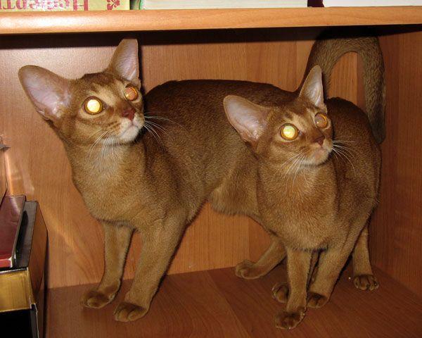 Λιλά, κόκκινη και πιτσιλωτή Μπούρμας - γάτα