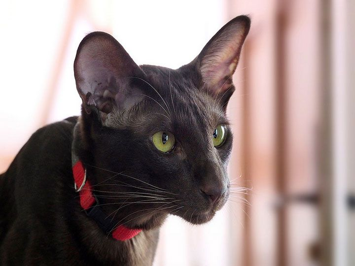 Γάτα της Αβάνας - γάταΗ γατα της Αβανας, ειναι μια