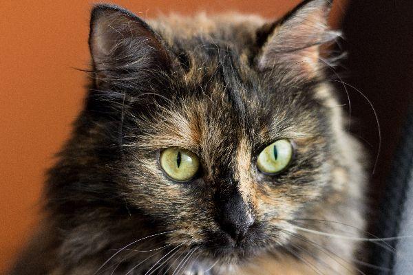 Πιτσιλωτή γάτα - Tortoiseshell