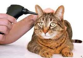 Τα αυτιά της γάτας