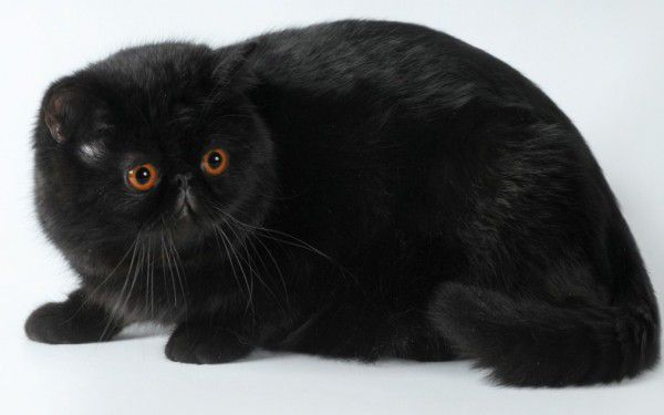 Μακρότριχες γάτες (Περσικές) - Μαύρη