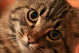 Καφέ ραβδωτή γάτα