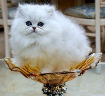 Τσιντσιλά γάτα