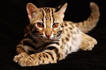 Όταν το τρίχωμα της γάτας είναι τιγρέ