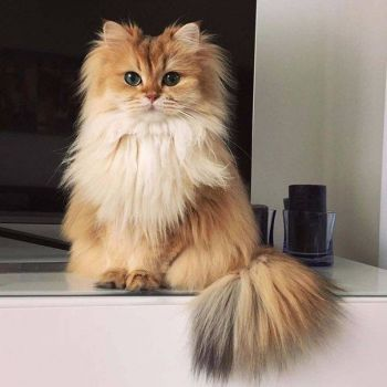 Η γάτα Smoothie