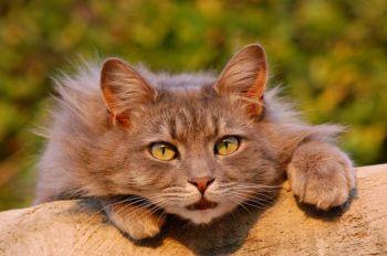 Εκθέσεις γατών