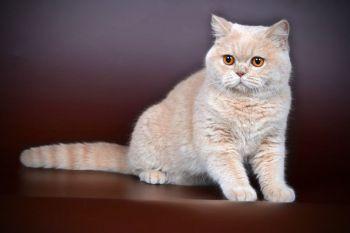 Γάτα χρώματος κρεμ