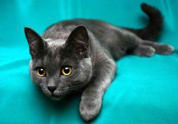 Korat - γάτα