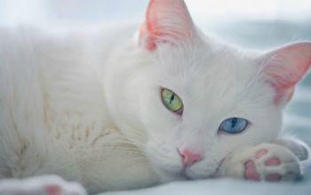 Άσπρη ξενική γάτα
