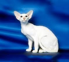 Λιλά ξενική γάτα