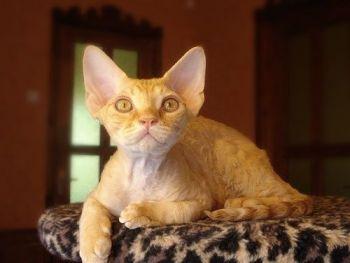 Ρεξ - γάτα