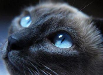 Γάτα με μπλε τρίχωμα