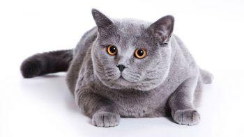 Βρετανικές κοντότριχες γάτες