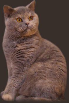 Κρεμ - Μπλε γάτα