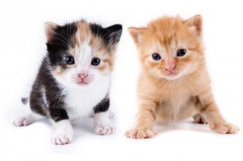 Ραβδωτή με κηλίδες γάτα