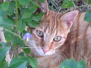 Ραβδωτή γάτα - Mackerel