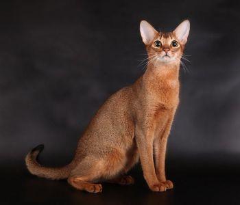 Αβυσσηνίας - γάτα