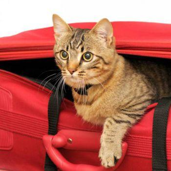Οι γάτες και τα ταξίδια
