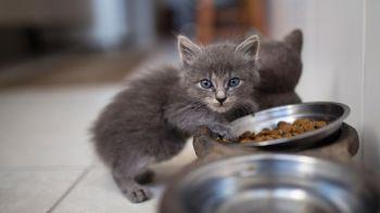 Τι ποσότητα και κάθε πότε πρέπει να τρώει μια γάτα