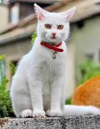 Άσπρη με πορτοκαλιά μάτια γάτα