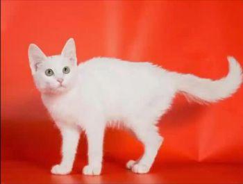 Άσπρη με παράταιρα μάτια γάτα