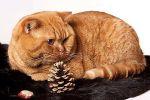 Κόκκινη ραβδωτή γάτα
