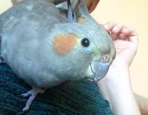 Εξωτερικές αρρώστιες και φλεγμονές στους παπαγάλους