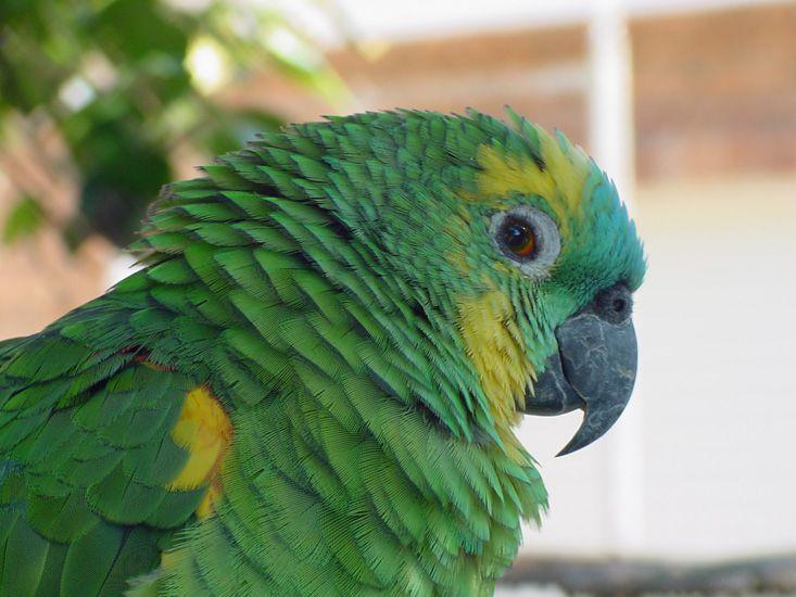 Εσωτερικές αρρώστιες στους παπαγάλους