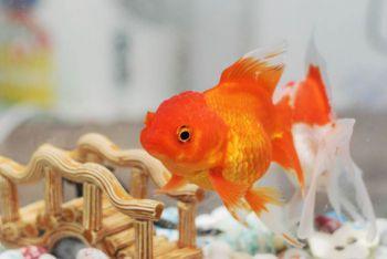 Μεταφορά και τοποθέτηση των ψαριών
