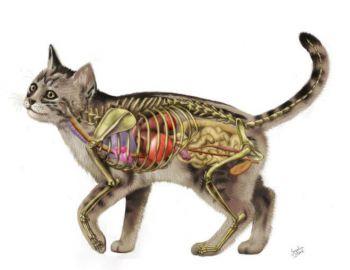 Το κυκλοφοριακό σύστημα στις γάτες