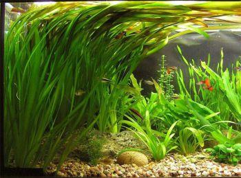 Φυτά περισσότερο για το μάτι, λιγότερο για το ψάρι (ενυδρεία)