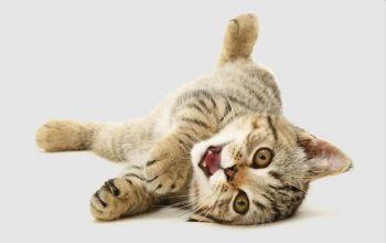 Ερωτική συμπεριφορά (γάτες)