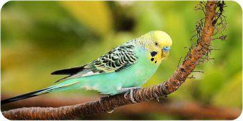 Φάγωμα των φτερών στους παπαγάλους